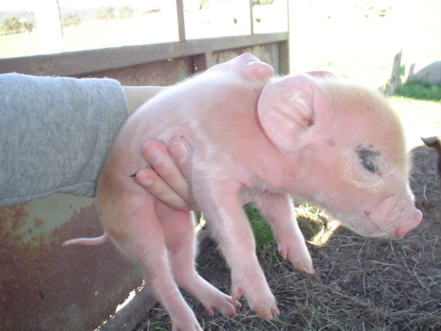 cutelittlepiggy.jpg